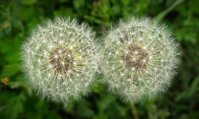 twins dandelions